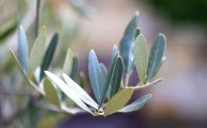 Olivenbaumzweig Detailaufnahme